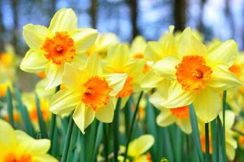 daffodils300113093146AM