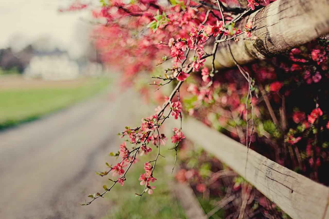 quince-pink-flower-branch-bush-fence-fence-bloom-spring-nature-focus-bokeh